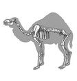 engraving of camel skeleton vector image vector image