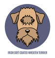portrait of irish soft coated wheaten terrier vector image