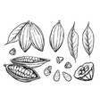 cocoa beans isolated on white background vector image vector image