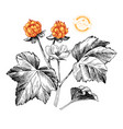 hand drawn cloudberry branch vector image vector image