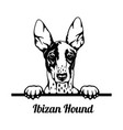 peeking dog - ibizan hound breed - head isolated vector image vector image