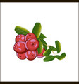 cranberries isolated icon vector image