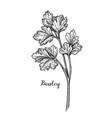 parsley ink sketch vector image