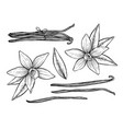 vanilla pods and flower isolated vector image