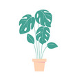 monstera leave home tropic plant in pot exotic vector image