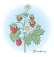 strawberry plant vector image