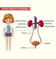 scientific medical kidneys and bladder anatomy vector image