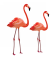 Flamingo birds isolated on white vector image