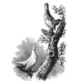 white tailed ptarmigan vintage vector image vector image