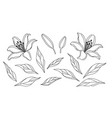 lily flowers and leaves sketch vector image vector image