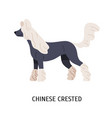 hairless chinese crested dog lovely small dog of vector image vector image