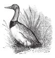 Common shelduck vintage engraving vector image vector image