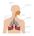 Human respiratory system in vector image vector image