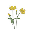 hand drawn buttercup flower vector image vector image
