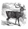 Caribou or Reindeer vintage engraving vector image vector image