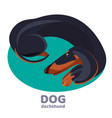 dachshund dog lies curled up and relax on blue vector image vector image