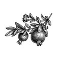 ink sketch pomegranate branch vector image