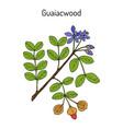 guaiacwood guaiacum officinale medicinal plant vector image