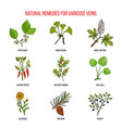 varicose vein herbal remedies vector image