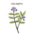 lilac-daphne daphne genkwa medicinal plant vector image vector image