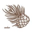 cedar tree branch and cone monochrome sketch vector image vector image