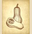 ink sketch of butternut squash vector image vector image