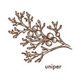 uniper juniper plant with berries and foliage icon vector image vector image