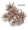 yew-tree branch of tree with berries monochrome vector image vector image