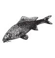 common carp vintage engraving vector image