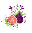 hand draw colored fig purple vector image vector image