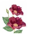 Anemone flowers isolated vector image