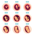 pregnancy stages human growth stages embryo vector image
