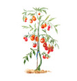 tomato bush in the garden watercolor drawing vector image vector image