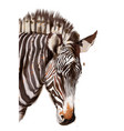 zebra watercolor isolated on white painted style vector image vector image