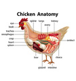 Diagram showing anatomy of chicken vector image vector image