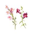 watercolor snapdragon flower vector image vector image