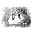 whistling swan vintage vector image vector image