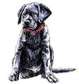 Labrador Retriever 02 vector image vector image