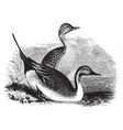 pin tail ducks vintage vector image vector image
