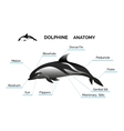 Dolphine Anatomy vector image vector image
