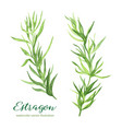estragon watercolor vector image