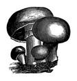 vintage engraving mushrooms vector image vector image