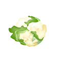 Fresh White Cauliflower on A White Background vector image