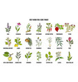 best herbs for a sore throat vector image