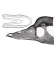 surf duck vintage vector image vector image