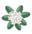 White Madagascar Jasmine Flowers vector image vector image