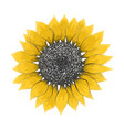 bright sketch of yellow sunflower blossom vector image vector image