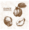 digital detailed quince hand drawn vector image