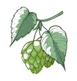 hops branch with leaves cones green humulus vector image