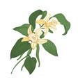 elegant botanical drawing of vanilla plant branch vector image vector image